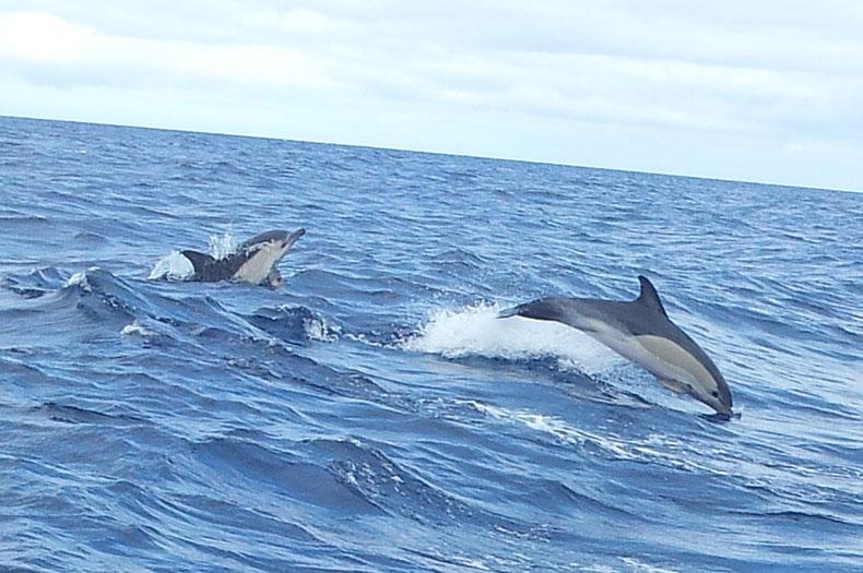 springende-delfine