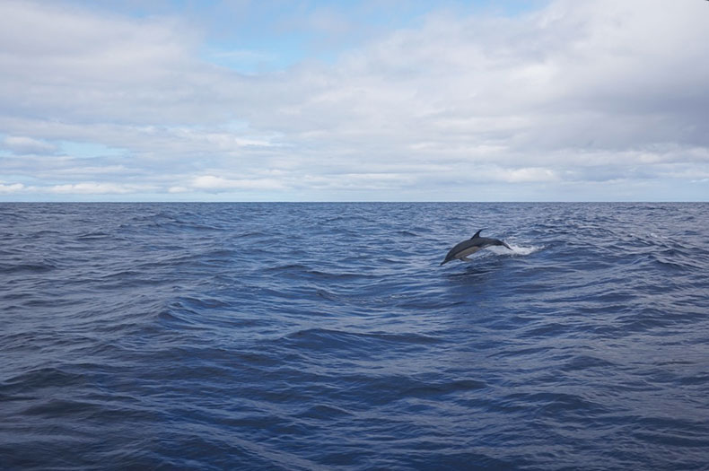 springender-delfin